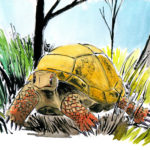 Tortue placide